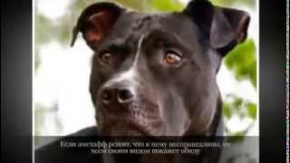 Средние породы собак  АМСТАФФ