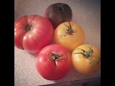 Gardening Trivia How many Tomato Varieties are there The More