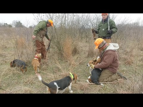 Learn how to rabbit hunt with beagles - YouTube
