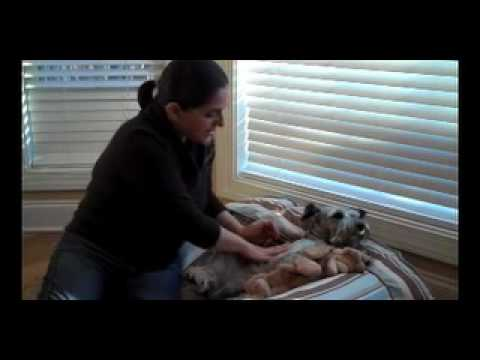 Using Lavender Oil for Dogs