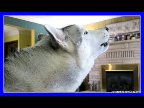 CAN HUSKIES HOWL | Fan Friday 248 Q&A | Make your dog Howl