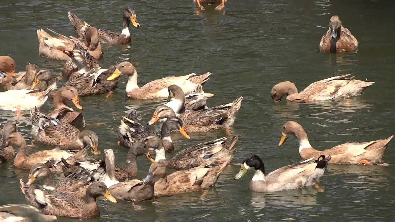 Ducks Swimming: Ducks swimming in river, a super scenery ...