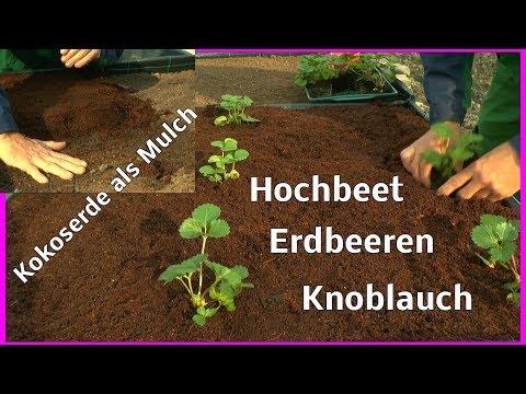 Erdbeeren Einpflanzen Im Hochbeet Wie Geht Das Ganz Einfach Mit Knoblauch