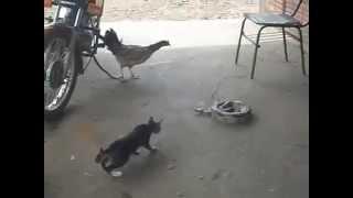 แมว ไก่ งู ใครจะอยู่ใครจะไป