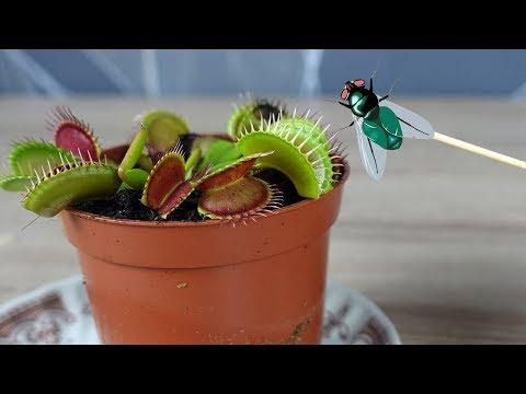 fleischfressende-pflanze-und-ameisen-mit-fliegen-füttern