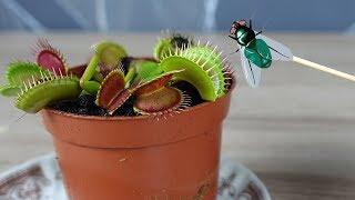 FLEISCHFRESSENDE PFLANZE und AMEISEN mit Fliegen füttern