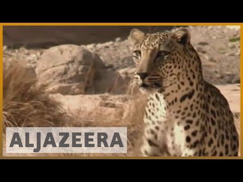 Witness - Saving the Leopard