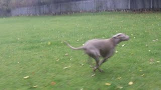 Weimaraner Millionaire Max Snooxing At A & B Dogs Boarding & Training Kennels.