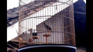 suara burung branjangan si PM pasca mabung