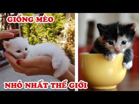 10 Giống Mèo Tí Hon Nhỏ Nhất Thế Giới Khiến Ai Cũng Muốn Chi Tiền Tỷ Để Sở Hữu