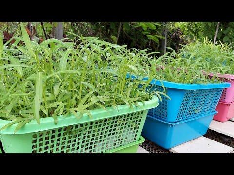 ปลูกผักบุ้งในตะกร้า 1/3 Hydroponics