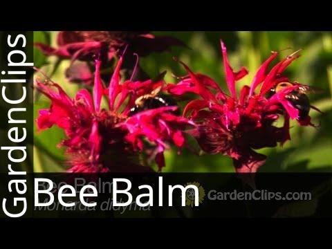 Bee Balm - Monarda didyma - How to grow Bee Balm