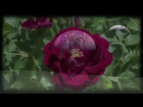 Rare Mantovani Orchestra with Cacayorin Video