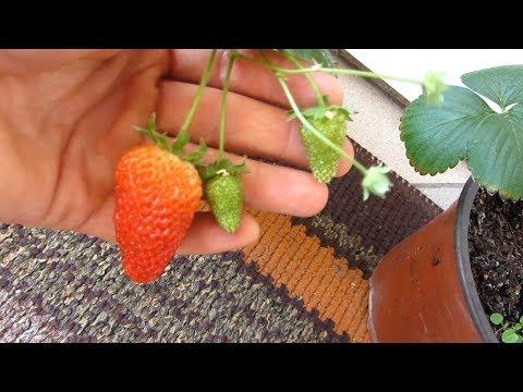 Чудо-ягодница , сказочный сбор , первая ягода.