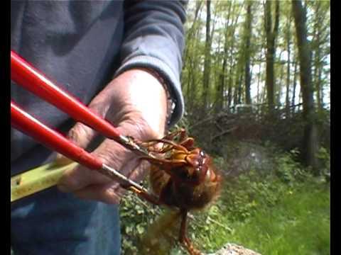 Frelon m re fondatrice hornet founder mother youtube - Petit nid de frelon ...