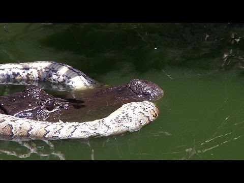 Alligator Guards Dead Python 01 Stock Footage