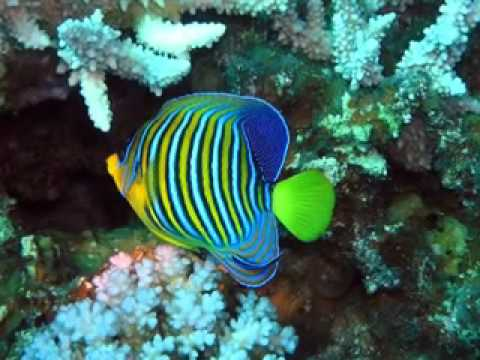 Pesci tropicali youtube for Sfondi pesci tropicali