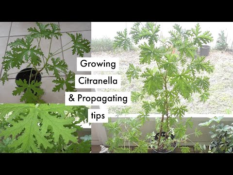How To Grow And Propagate A Citronella Mosquito Plant Youtube