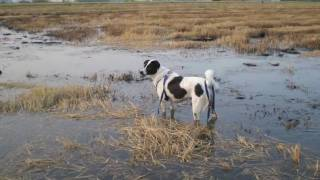 Pukpui my little cow - A Thai Dog swim in the Rice fields