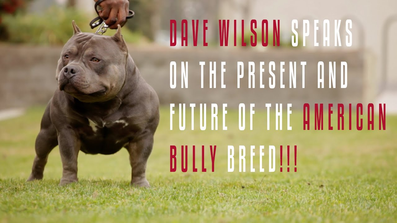 THE AMERICAN BULLY ALL YOU NEED TO KNOW DAVE WILSON