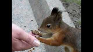 (замедленная) Белка ест кедровые орешки.