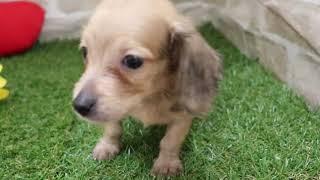 ペットショップ 犬の家みなと店 「89974Mダックス」 thumbnail