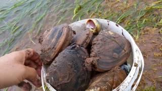 썰물때 물빠진 바닷가 갯벌에서 조개 잡이 물반 조개반 물축꾸리