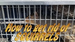 How to get rid of Squirrels in your attic the RIGHT way.