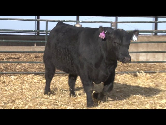 Schiefelbein Angus Farms Lot 50