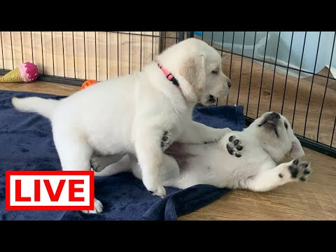 LIVE STREAM Puppy Cam! Adorable Labrador Retriever Puppies