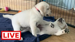 LIVE STREAM Puppy Cam! Adorable Labrador Retriever Puppies