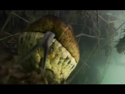 Submarinistas descubren una anaconda de 7 metros