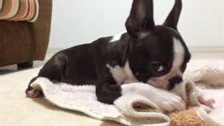 ボストンテリアの赤ちゃん タオルを口に含めながら寝ている、甘えん坊です.