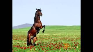 Породы лошадей.Чистокровная верховая лошадь.Общая характеристика.