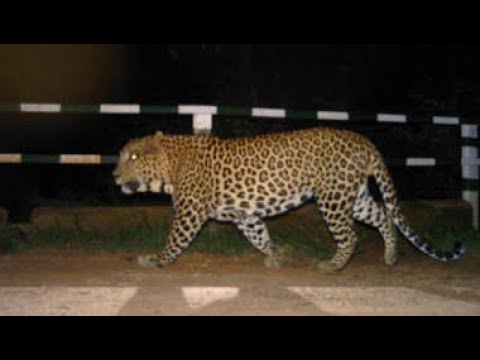 Tiger hulchal in srisailam
