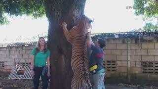 Hombre tiene a siete tigres como mascotas thumbnail