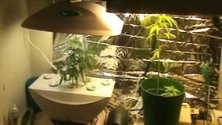 Aerogarden   dr  cannabis. Aerogarden Cannabis Harvest. Home Design Ideas