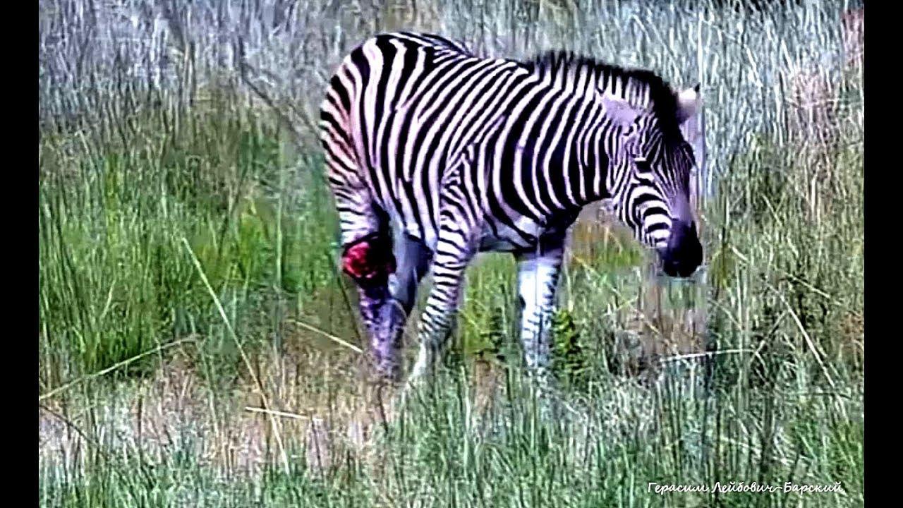 12+ Wild Африка Израненный хищниками жеребец зебра спасается на травах Kwa Maritane