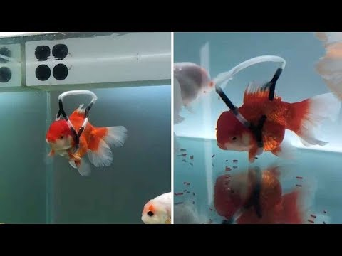 Korean Designer Created A 'Wheelchair' To Save His Disabled Goldfish From Drowning