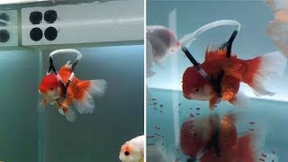 Man Creates 'Wheelchair' For Disabled Goldfish
