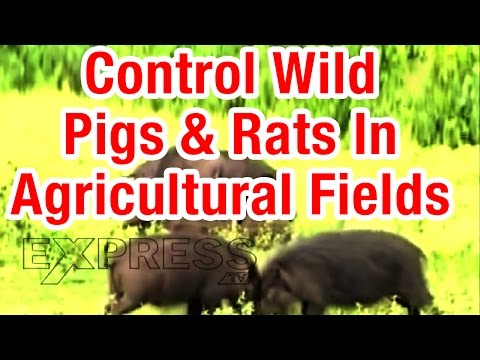 Now We Can Easily Control Wild Pigs And Rats In Agricultural Fields | Paadi Pantalu | Express TV