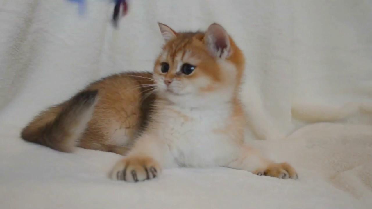 Британские кошки, окраса серебристая затушеванная шиншилла,. И решите купить котенка британской шиншиллы от понравившейся вам пары,
