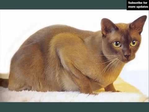 Burmese | Picture Ideas Of Cats