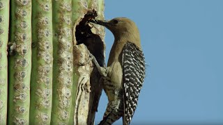 Birds Feast on Bee Swarm | BBC Earth