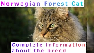 Norwegian Forest Cat. Pros and Cons, Price, How to choose, Facts, Care, History