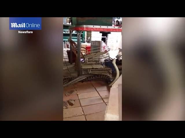 Australijanac zatekao u kuhinji borbu dva ogromna pitona
