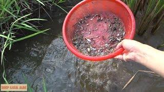 Vớt lia thia đồng miền trung mùa gặt. Bắt cá cực nhiều cực dễ