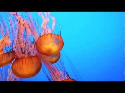 Sea Nettle Jellyfish At Monterey Bay Aquarium