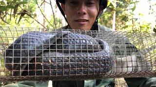 Bẫy Rắn Độc - Tóm gọn Hổ Mang Đất Chúa Khủng lâu năm mập nụi đen xì | Hoang Dã Bình Thuận