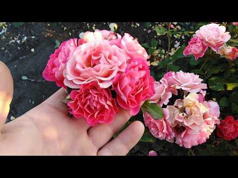 Шраб роза Мишель Бедросьян (Michelle Bedrossian). rozapochtoi.ru